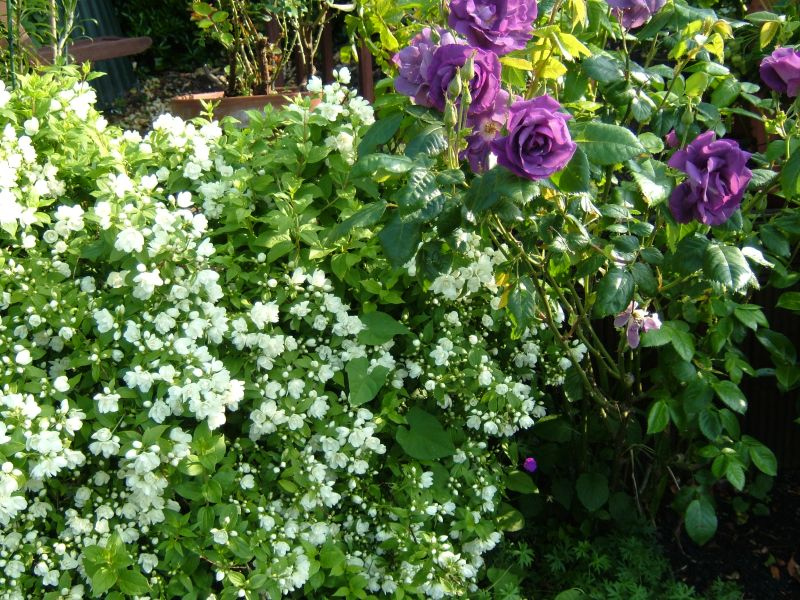 чубушник и роза в цвету