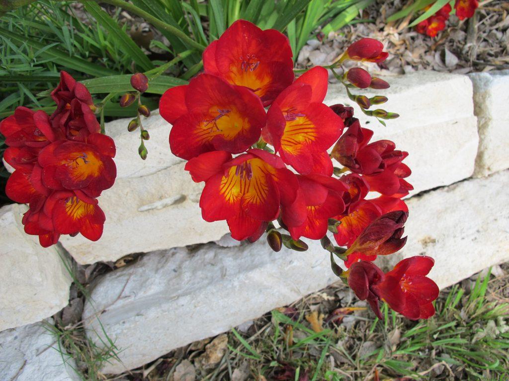Фрезия - ароматное украшение вашего сада