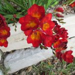фрезия в саду фото