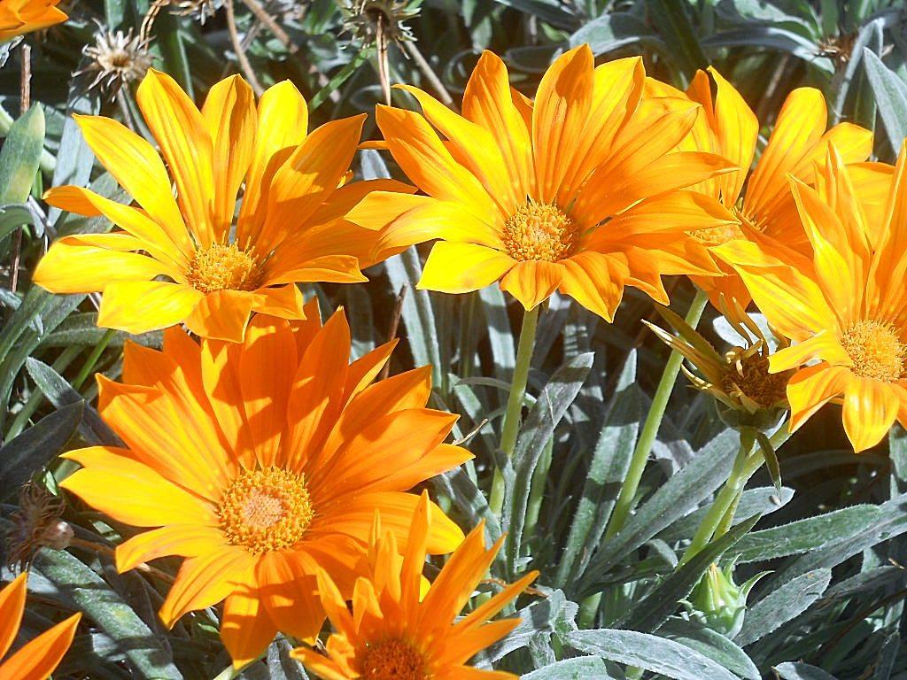 Гарциния уход и выращивание 84