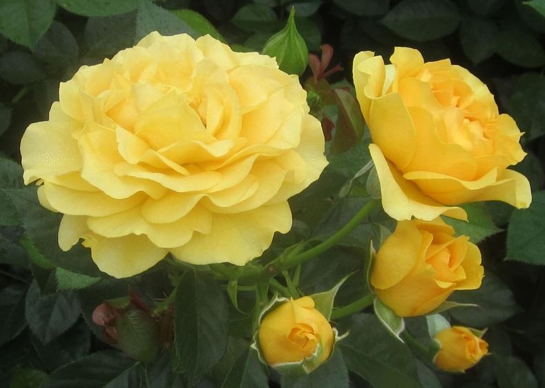 Роза Абсолютлей Фабулос
