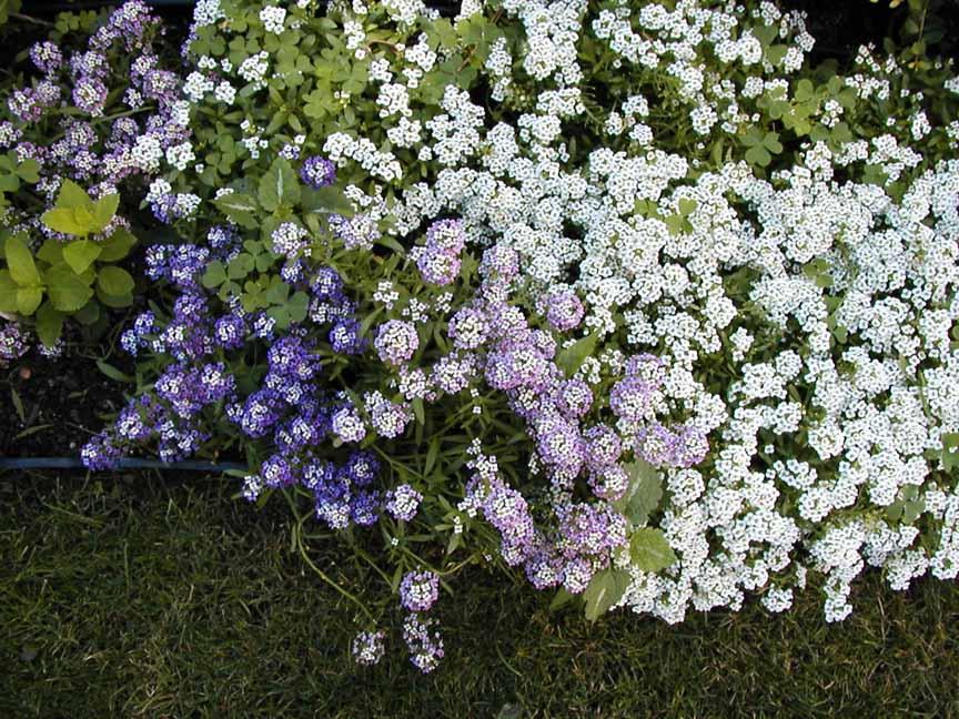 алиссум цветы фото