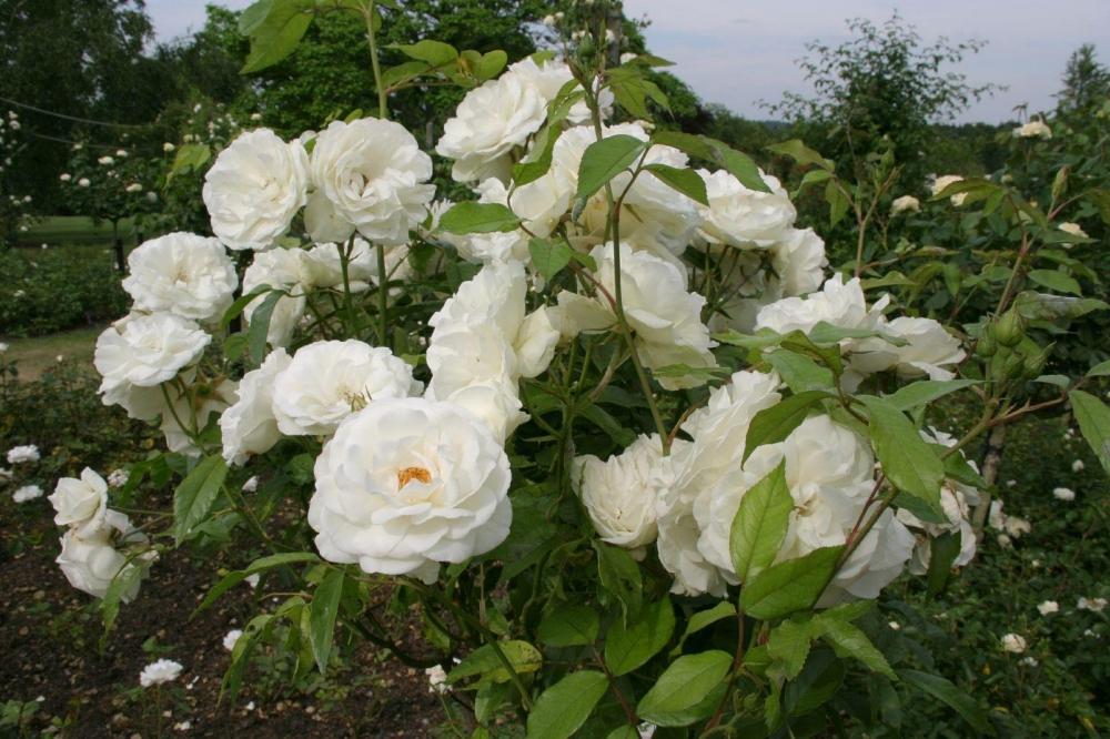роза Айсберг фото