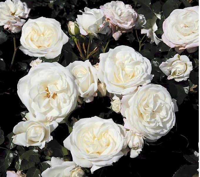 Белая роза флорибунда сорта
