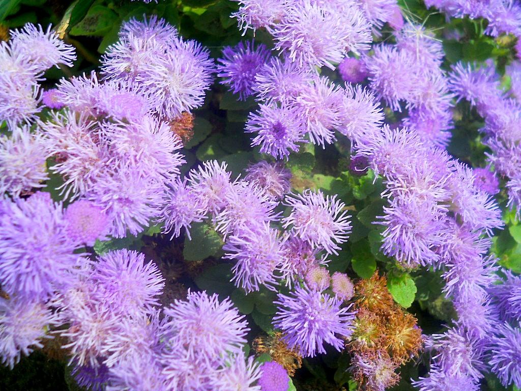 цветы агератума