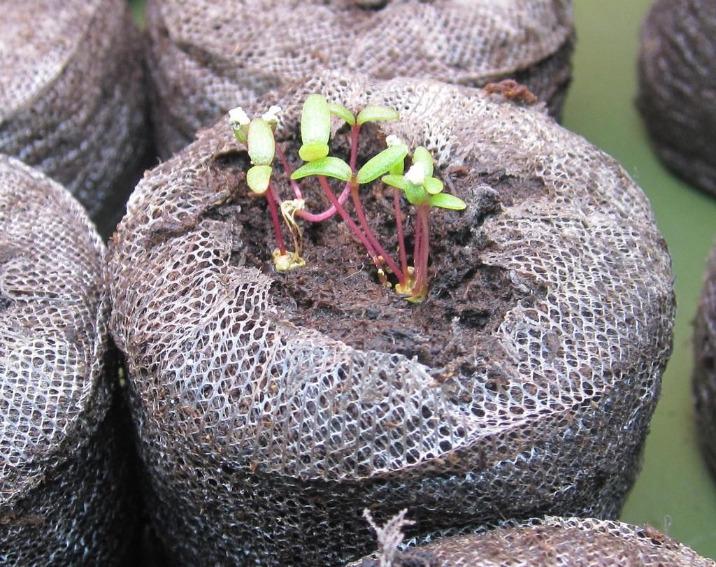 Портулак выращивание и фото