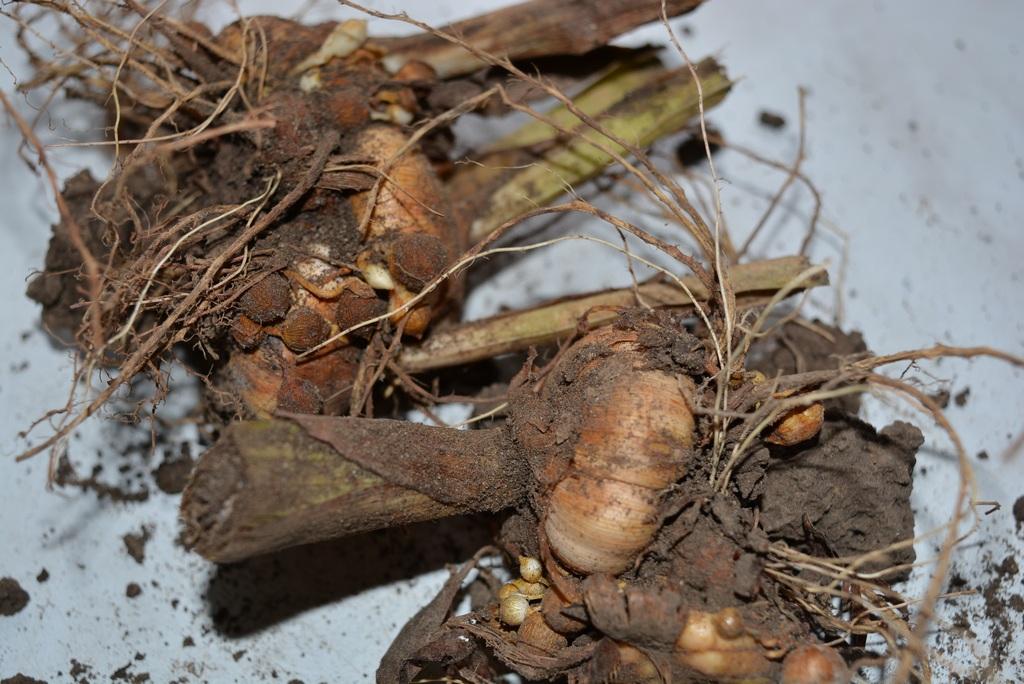 клубнелуковицы гладиолусов после выкопки