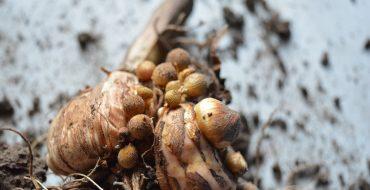 хранение луковиц гладиолуса