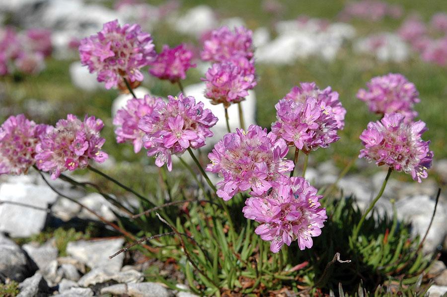 Армерия альпийская (Armeria alpina)