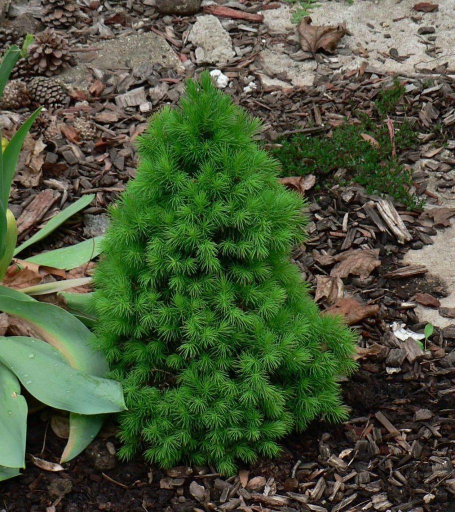 Ель сизая, или канадская (Picea glauca) посаженная весной