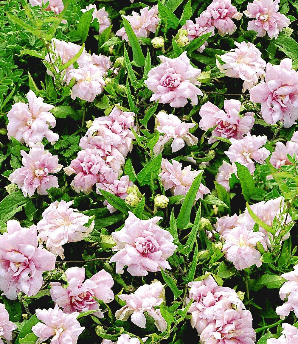 калистегия  цветов