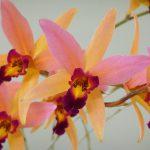 Laeliocattleya 'Santa Barbara Sunset '