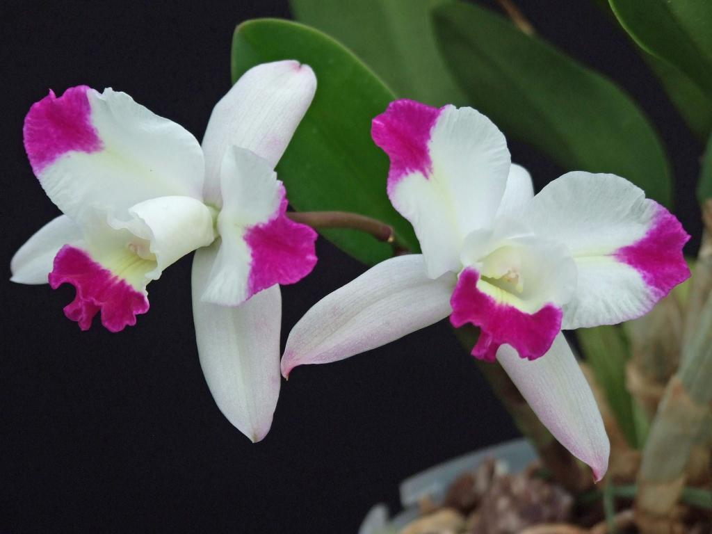 Laeliocattleya (Cattleya x Laelia)