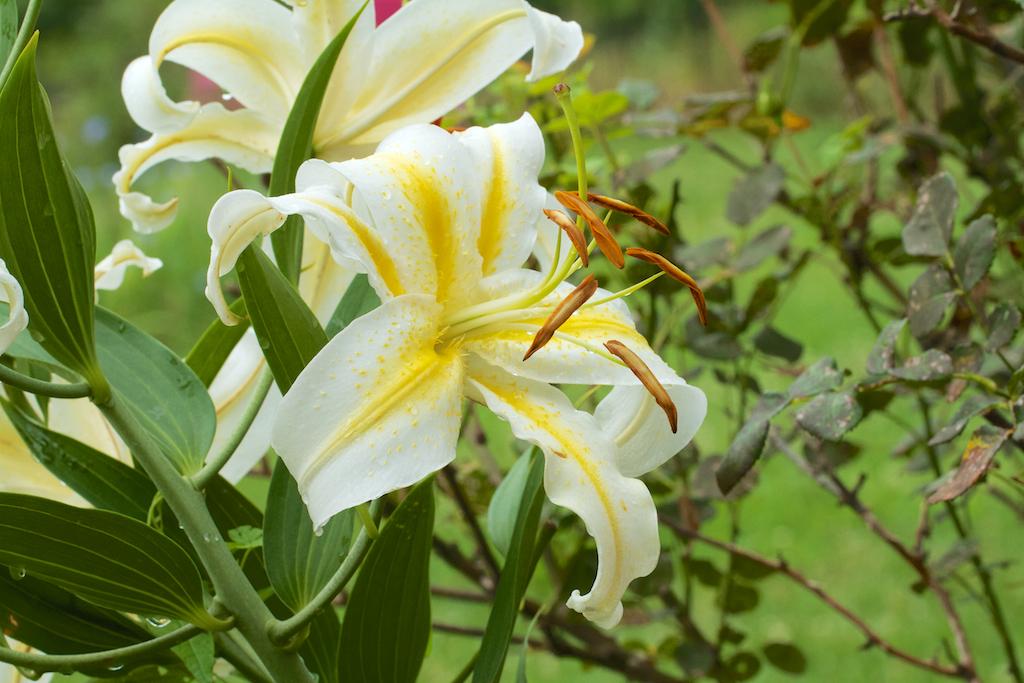 Посадка лилий. Когда и как сажать лилии Выращивание
