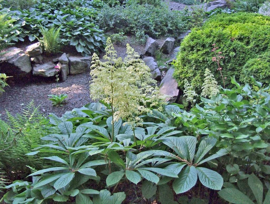 роджерсия в саду