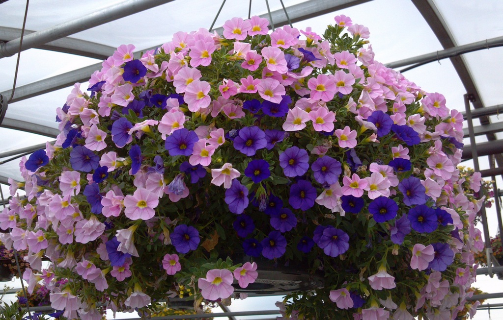 каскадные цветы для сада