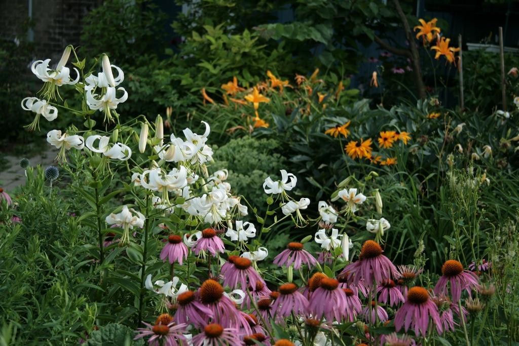 лилии в цветнике