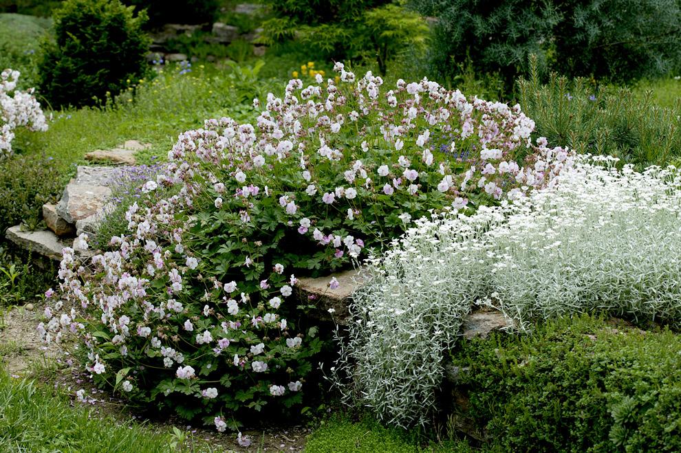 Ясколка войлочная (Cerastium tomentosum)  и герань гибридная  (Geranium x cantabrigiense 'Biokova')