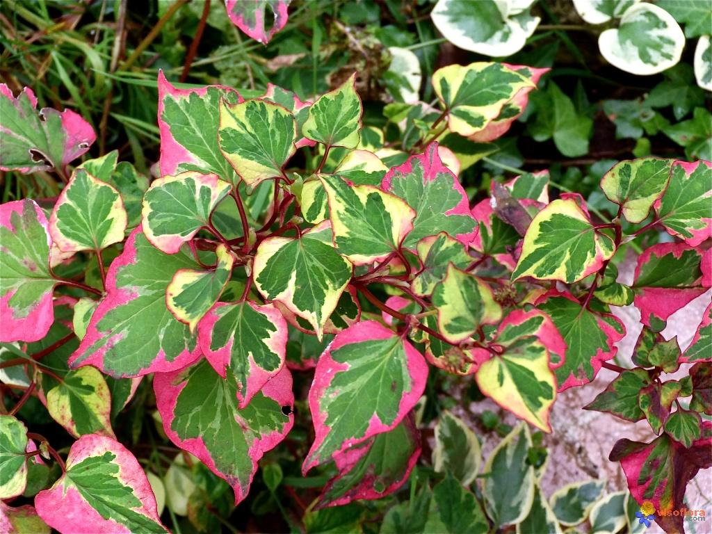Хауттюйния сердцевидная (Houttuynia cordata) 'Chameleon'