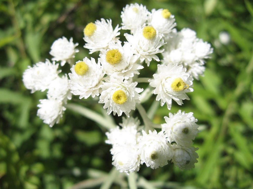 pearly_everlasting_flowers_closeup_01