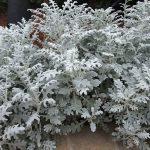 Цинерария приморская (Cineraria maritima)