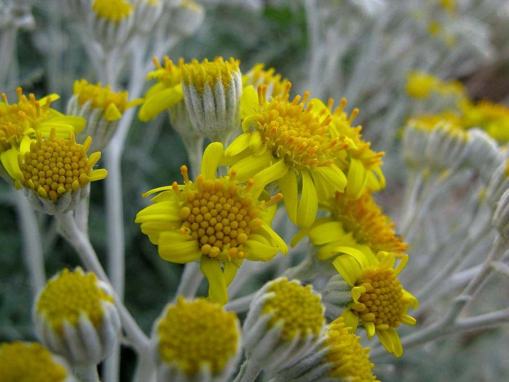 Так цветет цинерария
