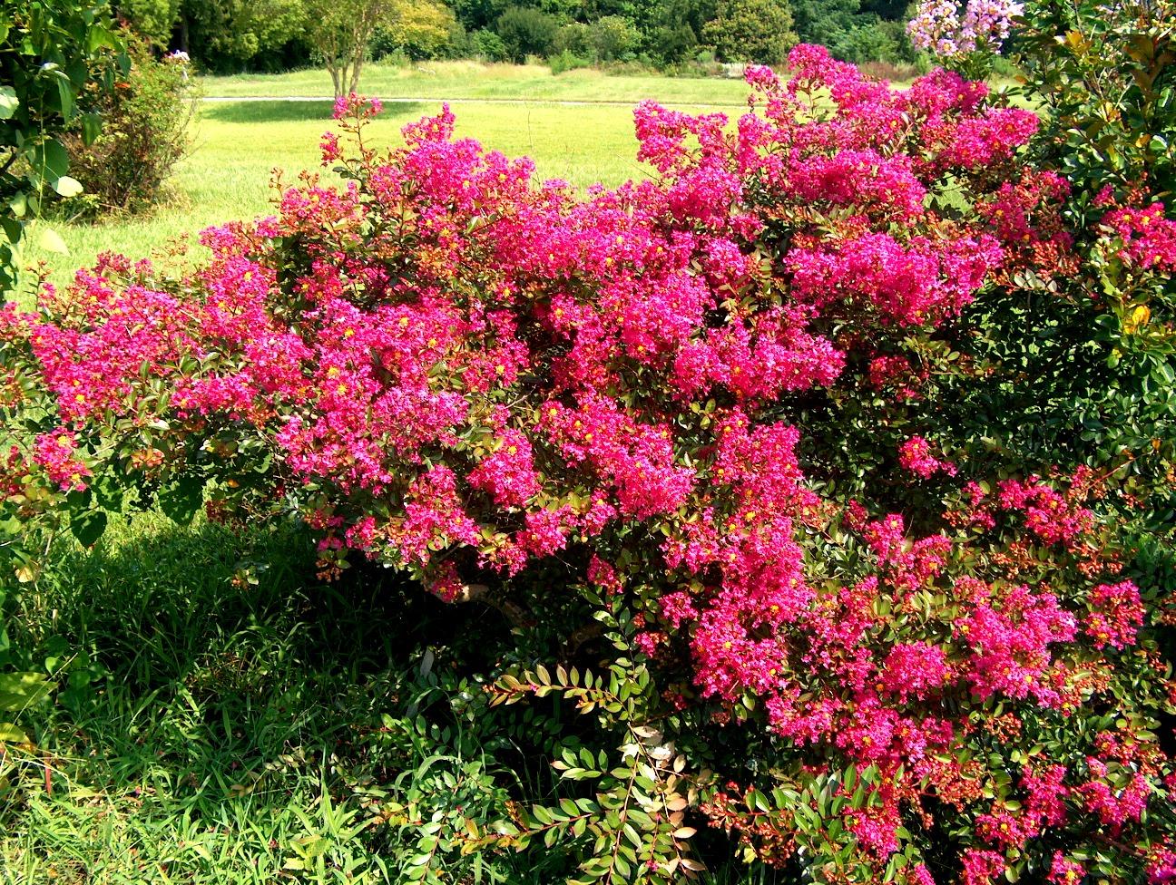 столетии красивоцветущие кустарники для сада фото носят знаменитости