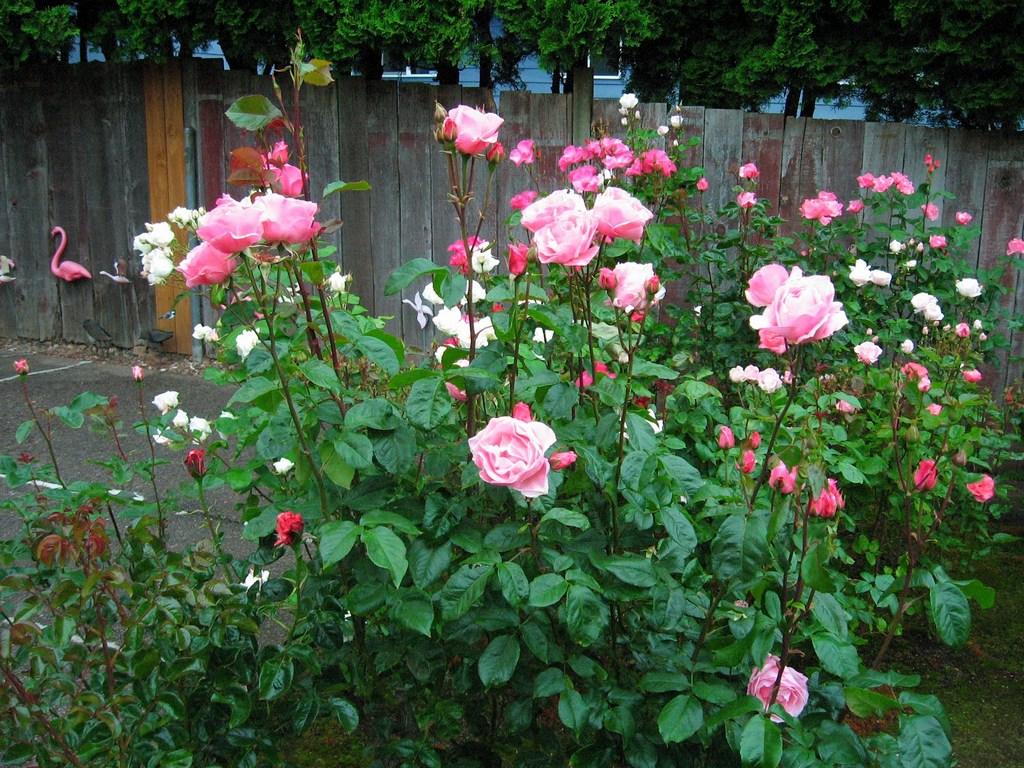 роза грандифлора фото