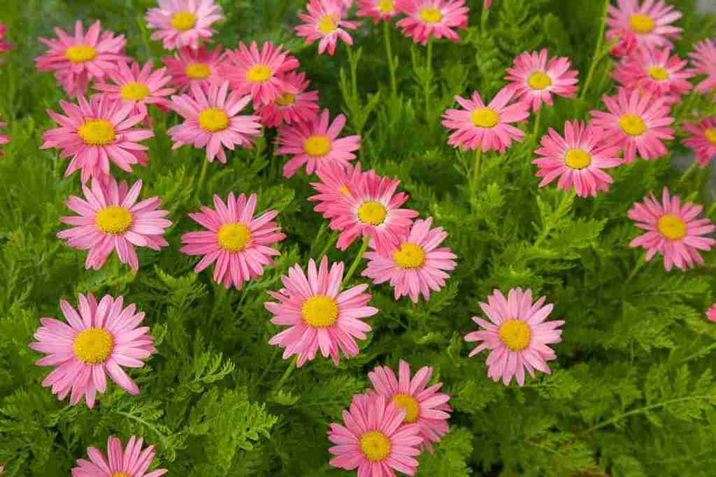 пиретрум розовый фото