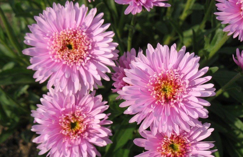 астра альпийская розовая фото