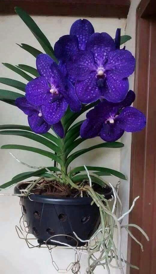орхидея ванда в кашпо_фото