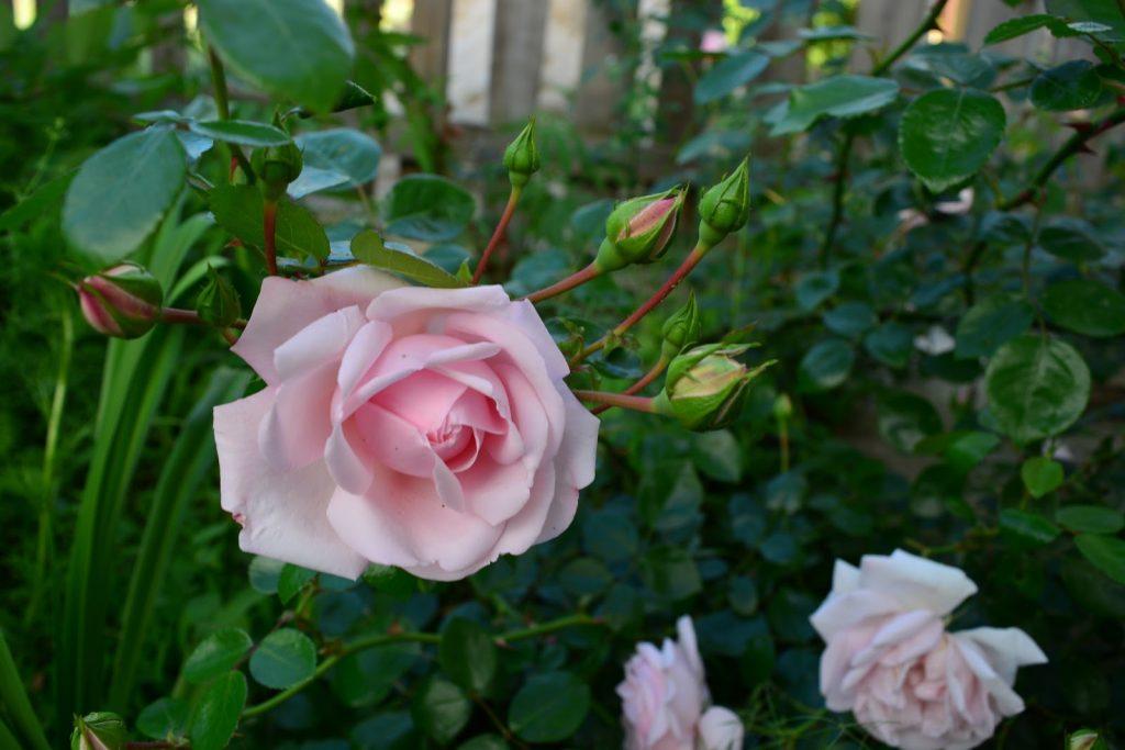 розовая плетистая роза_фото