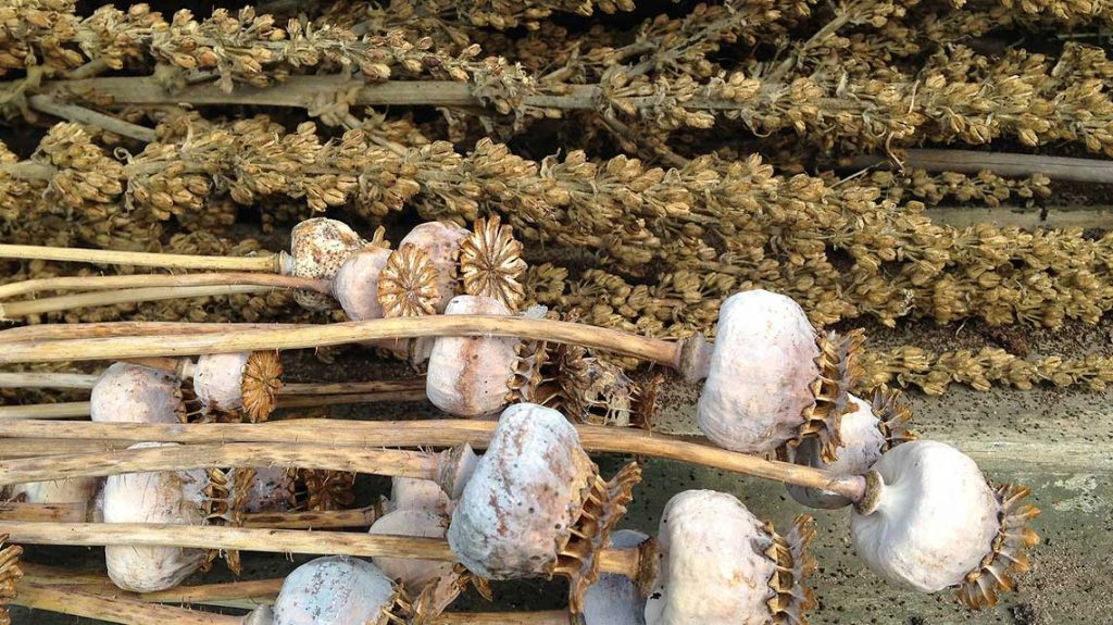 Семена и семенные коробочки вербаскума_фото