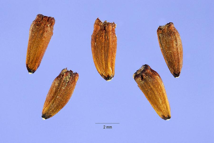 семена гелиопсиса_фото