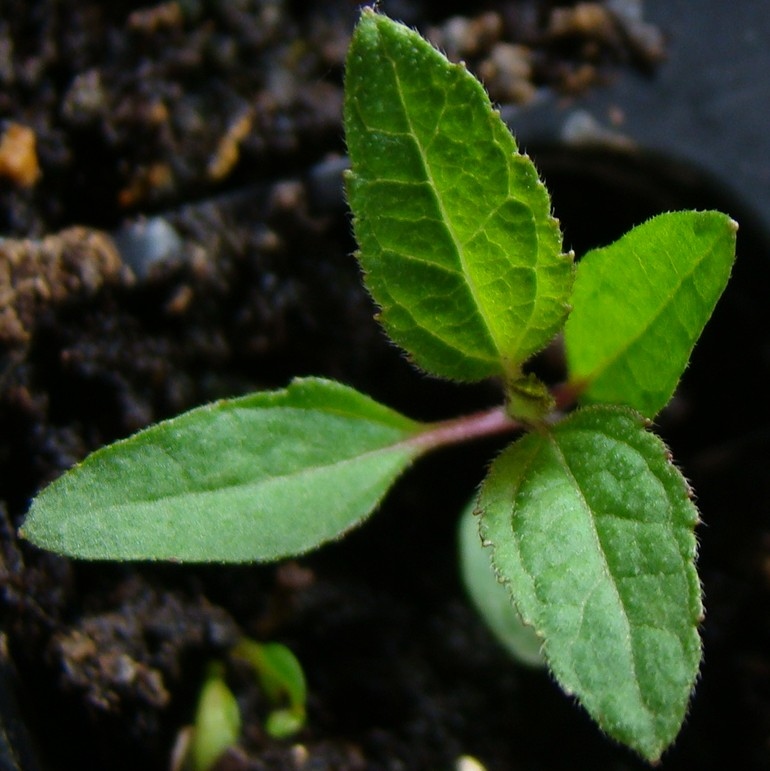 гелиопсис из семян_фото