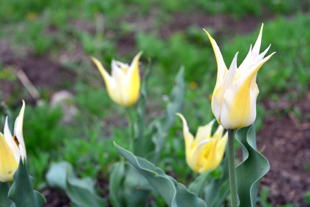 лилиецветные тюльпаны_фото