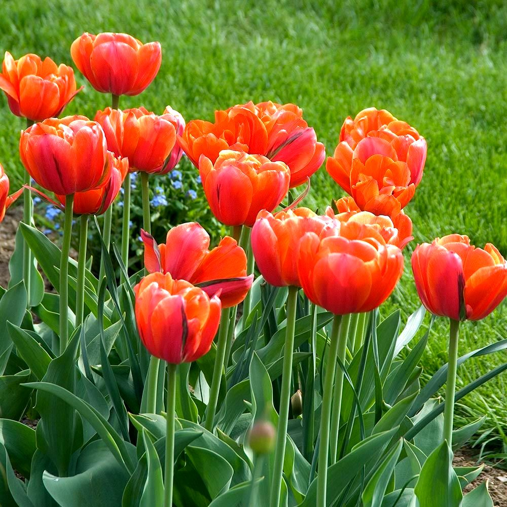 тюльпаны махровые_фото